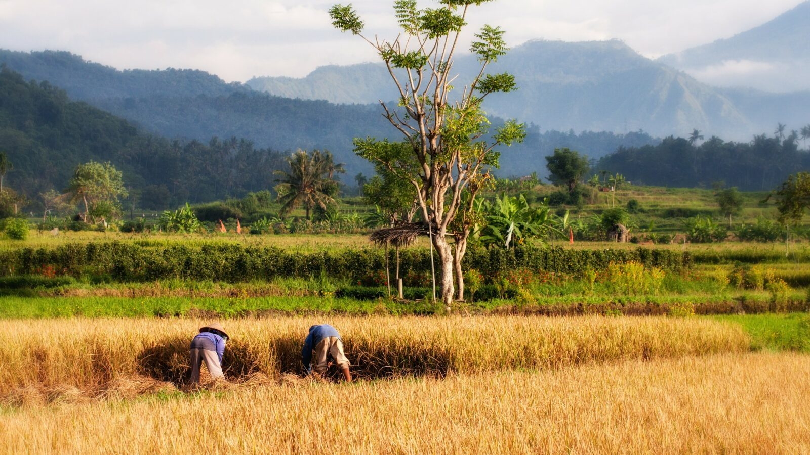 Farmers work in field in Bali