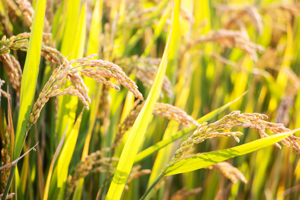 close up of rice plants