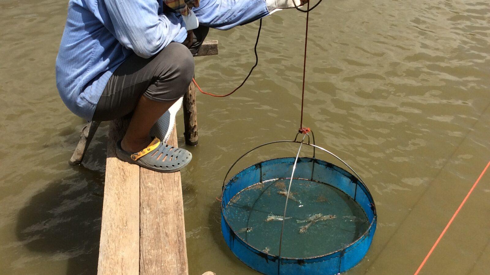 Thai shrimp farmer