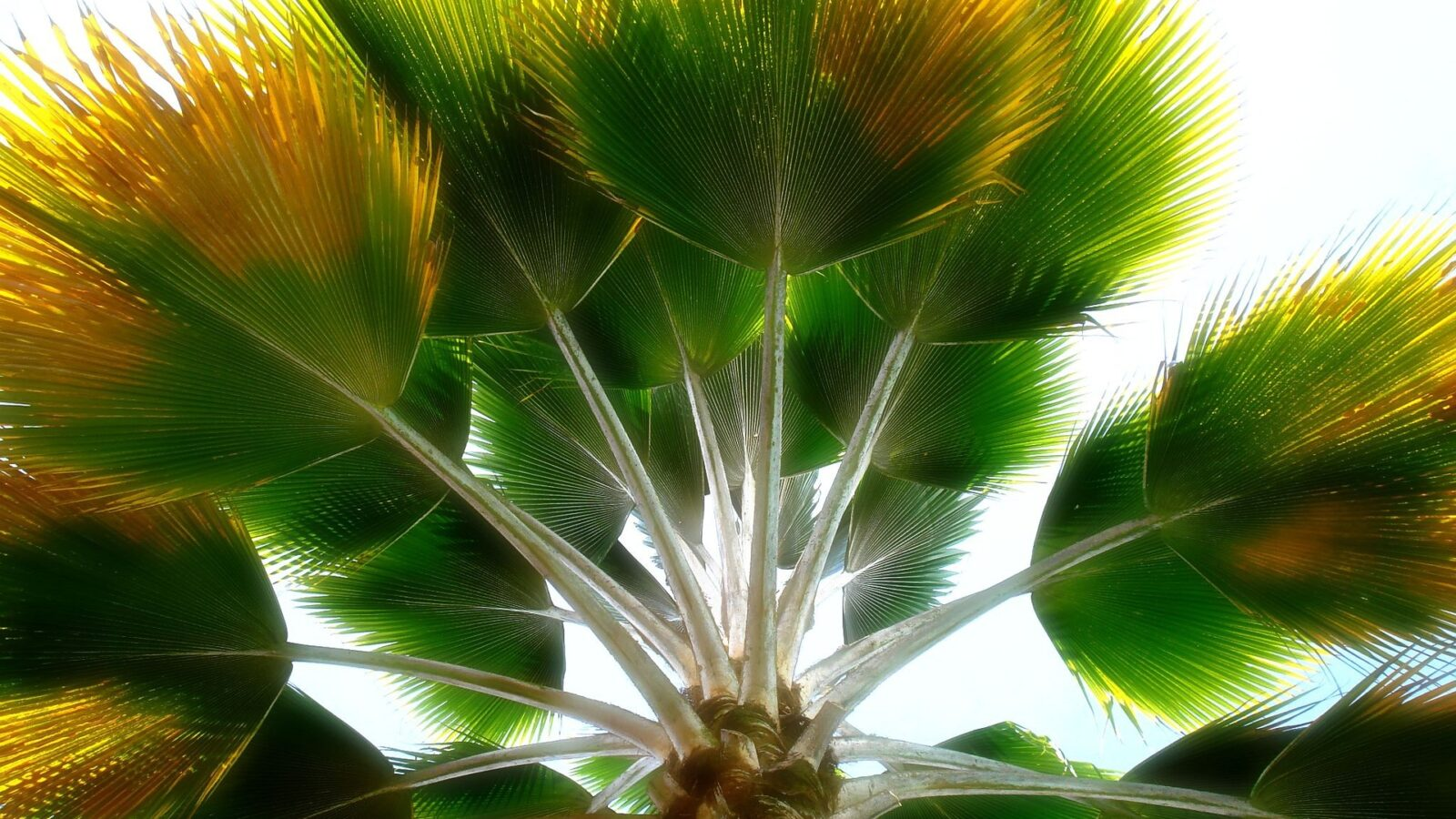 looking up at palm tree leaves
